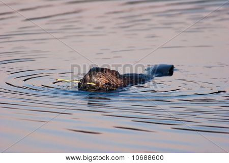Wild American Beaver Eating Bark In Twilight