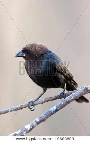 Wild Brown-headed Cowbird Perched On Branch
