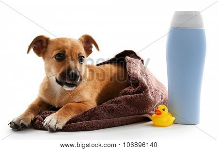 Puppy wrapped in towel, shampoo and toy duck beside it isolated on white poster