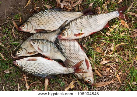 Pile Of Freshwater Roach Fish And Bream Freshwater Fish As Background.