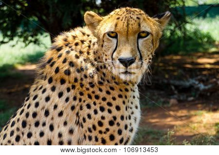 South African Cheetah (Acinonyx Jubatus) stares intensely into the camera with its yellow eyes. poster