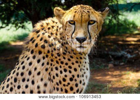 Close up of Cheetah staring into camera