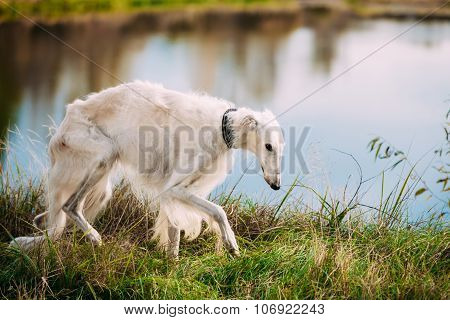 White Russian Borzoi, Borzaya Hunting Dog walking near river
