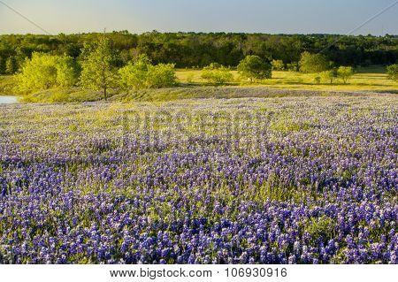 Texas Wildflower -  Bluebonnet Filed In Ennis