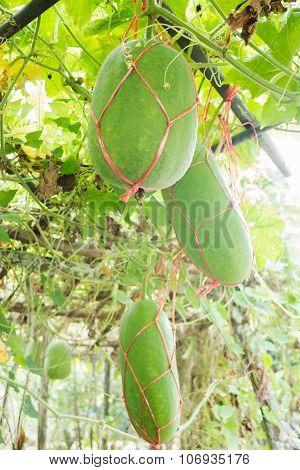 Fresh Of Green Winter Melon On The Tree
