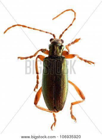 Green beetle isolated on white background. Macro.