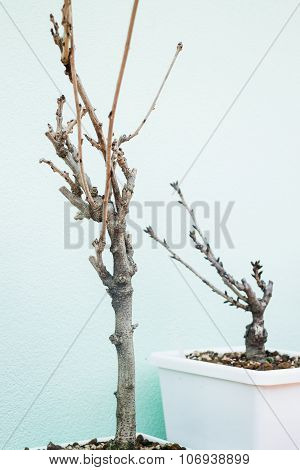 Mini Trees Without Leaves In White Pot