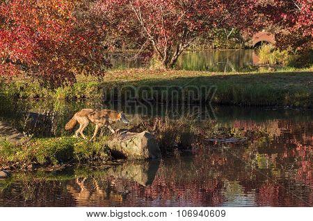 Coyote (canis Latrans) Walks Along Shore