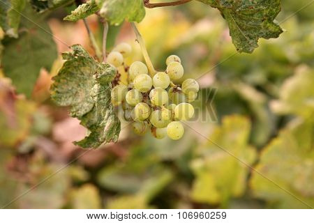 Grape Vines with Grapes and Sun Dried Grapes aka Raisins still on the vine. Grapes and Raisins are loved by humans around the world and turned into food and wine. Grapes are good for you
