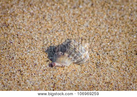 Veined Rapa Whelk