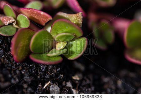 Claytonia Perfoliata - Purslane Lettuce