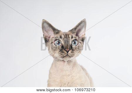 Pure-bred devon rex cat portrait on white background poster