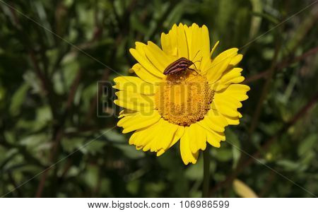 Italian Striped-bug Over A Yellow Daisy