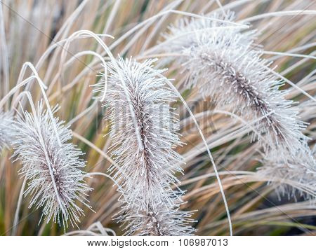 Aristae of Pennisetum alopecuroides grass covered with morning frost poster