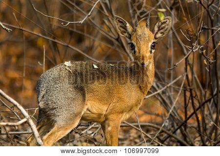 Portrait Of A Damara Dik Dik.