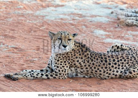 Lazy Cheetah (Gepard). Seen and shot on selfdrive safari tour through natioal parks in namibia africa. poster