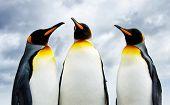Three King Penguins at Volunteer Point, Falkland Islands poster