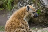Spotted female hyena sitting with rock in the foreground. Profile portrait. poster