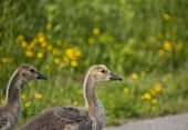 Two Canada goslings walk across a pedestrian path with green grass and yellow flowers in the background. poster