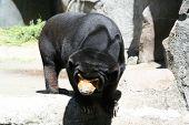 black sun bear taking a sun bath poster