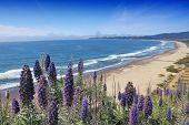 California United States - Stinson Beach. Pride of Madeira (Echinum fastuosum) shrub. poster