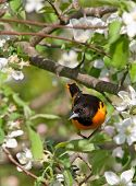 Beautiful photograph of a Baltimore Oriole in the midst of vibrant spring Apple Tree blossoms. poster