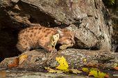 Female Cougar Kitten (Puma concolor) Crawls Right - captive animal poster