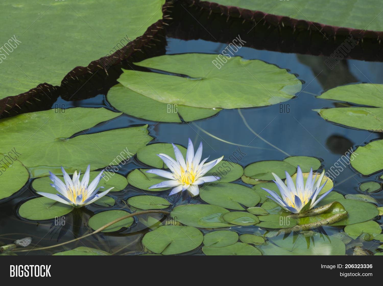 Three Blue Lotus Egypt Image Photo Free Trial Bigstock