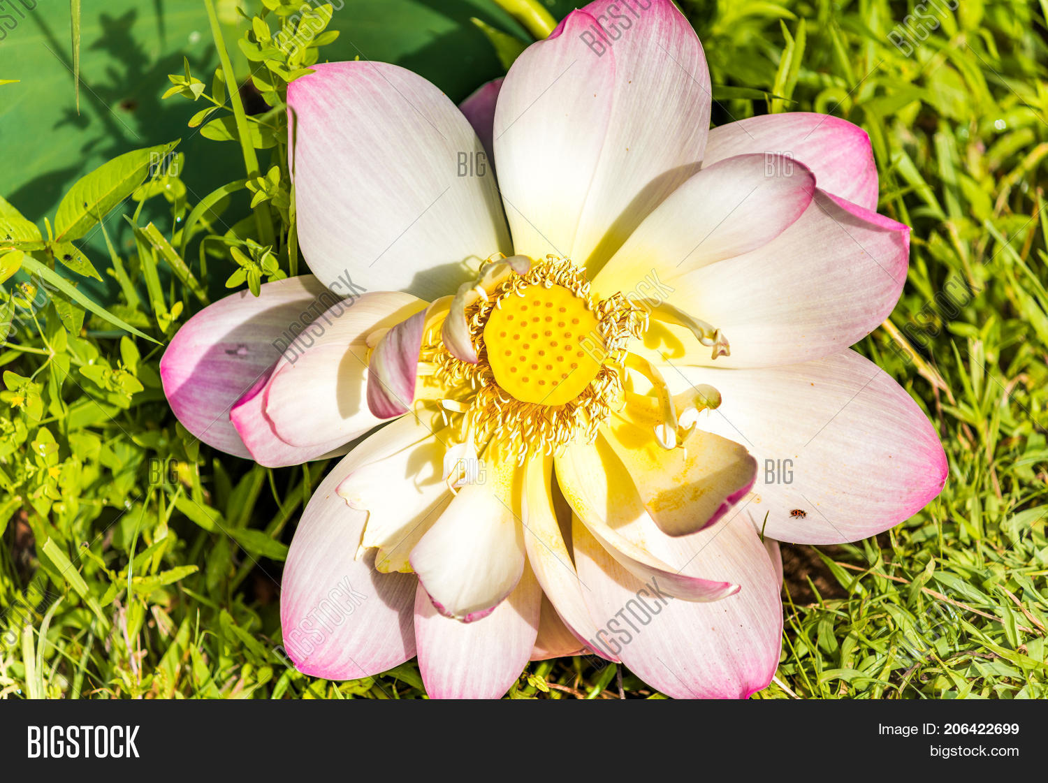 Macro flat top view image photo free trial bigstock macro flat top view down closeup of bright pink lotus flower with yellow seedpod inside izmirmasajfo
