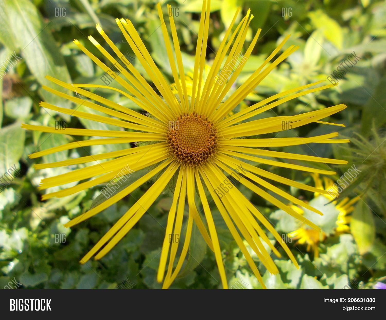 Beautiful Yellow Aster Image Photo Free Trial Bigstock