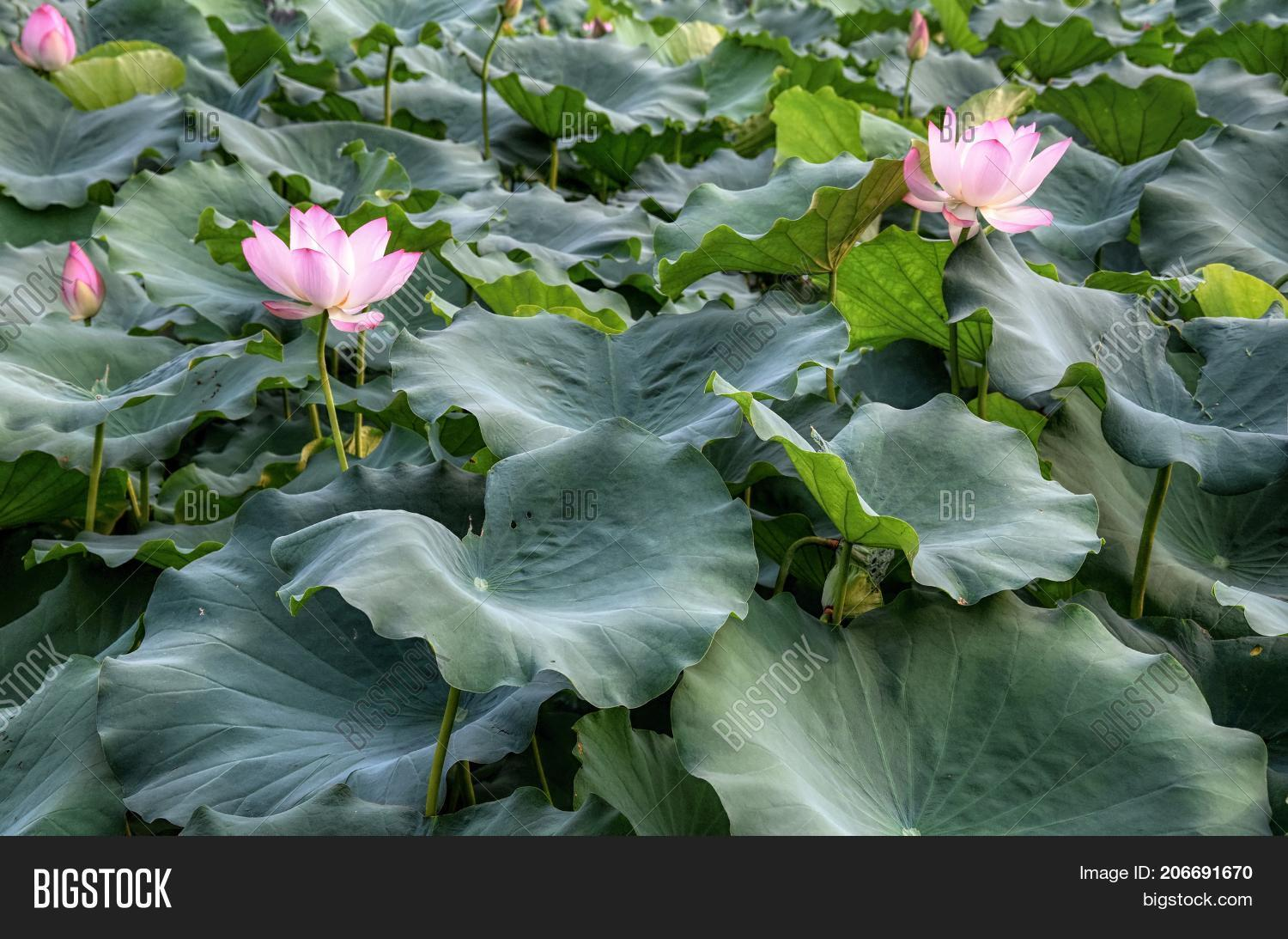 Lotus Flower Symbol Image Photo Free Trial Bigstock