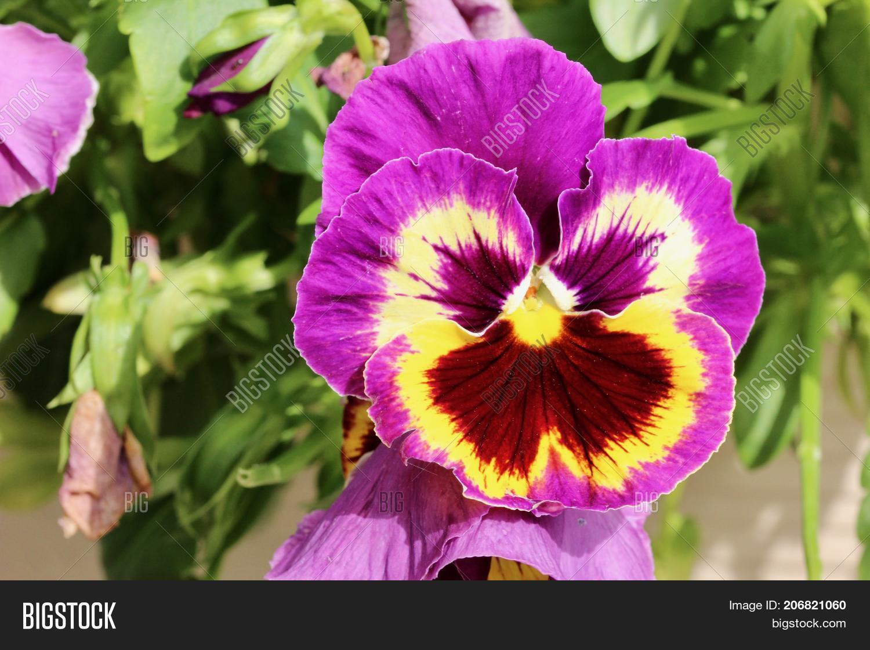 Purple Yellow Pansy Image Photo Free Trial Bigstock