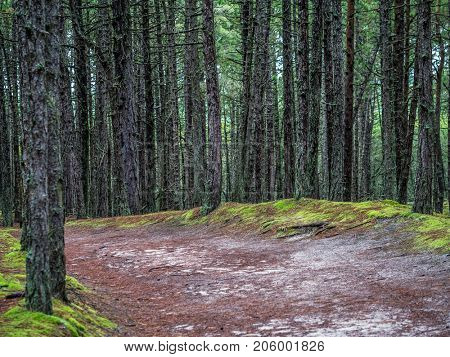 Track in the old pine forest, part of the Slowinski National Park located on Polish coast close to the Baltic Sea, Poland