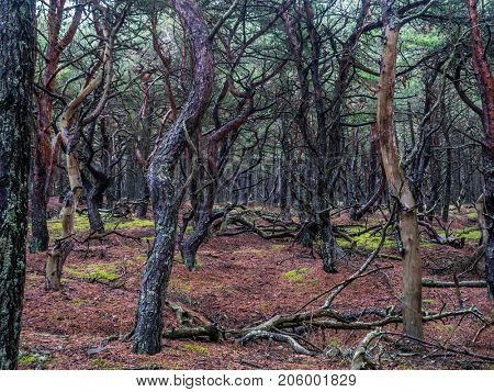 Old pine forest, part of the Slowinski National Park located on Polish coast close to the Baltic Sea, Poland