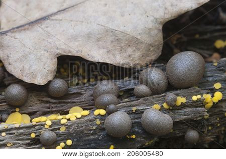 Mushrooms (slime mould Lycogala epidendrum and Bisporella citrina) on an old stump