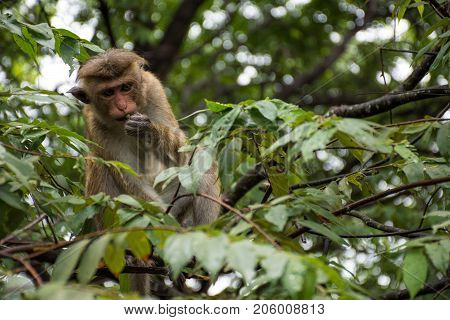 Monkey on the tree. Golden temple in Dambulla monkey.Temples in Asia.Buddhist monument in Sri Lanka.