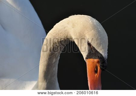 After the dive of a Swan in the water drops of water glisten on the head of a Swan.France. Metz