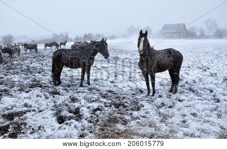 Horses in snow blizzard at the farm at the time of the cold winter