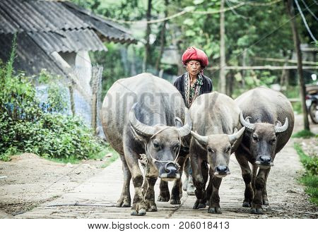 SA PA, VIETNAM - AUGUST 2017: Red dzao ethnic minority woman with buffaloes in Ta Phin village, Sa Pa, Lao Cai province, Vietnam