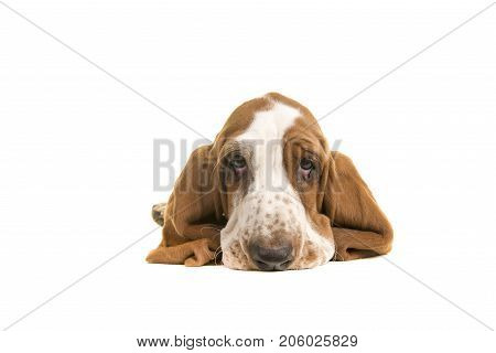 Cute sad looking english basset hound puppy portrait lying on the floor seen from the front with its ears folder underneath him on a white background