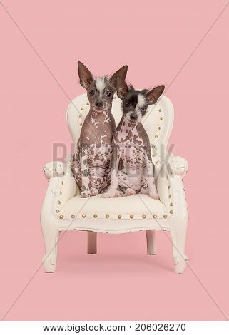 Two cute naket crested puppy dogs sitting on a white baroque chair on a pink background