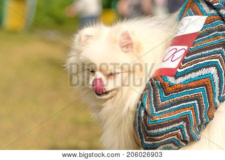 American Eskimo Spitz Close-up is a decorative breed of dogs. Space under the text. 2018 year of the dog in the eastern calendar Concept: parodist dogs, dog friend of man, true friends, rescuers.