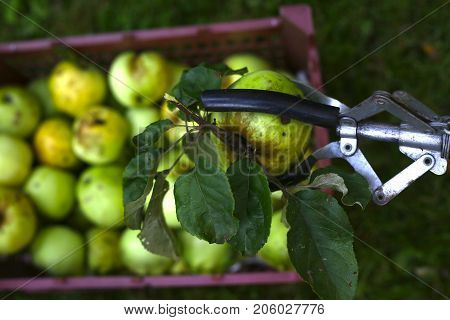 Apples Harvesting In Crater With Pluck Pole