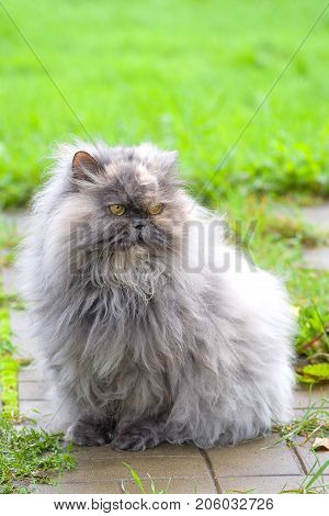 Persian cat sitting on a background of green grass, a breed of long-haired cats, one of the oldest and most popular in the world close up