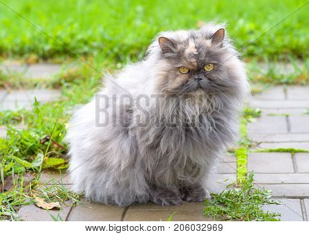 Persian cat, a breed of long-haired cats, one of the oldest and most popular in the world close up