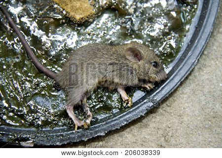 Glue mousetrap.Soft focus of dirty and danger rat trapped by food on rat glue trap for control the rat population in household