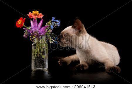 Siamese kitten sniffing on flowers, on black background