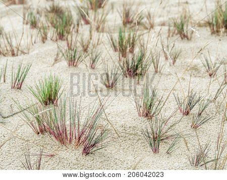 Clumps of dune grass called ammophila arenaria, growing on moving dune Wydma Czolpinska in the Slowinski National Park between Rowy and Leba, by the Baltic Sea, Poland