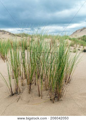 Dune grass called ammophila arenaria, growing on moving dune Wydma Czolpinska in the Slowinski National Park between Rowy and Leba, by the Baltic Sea, Poland