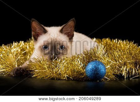 Beautiful siamese kitten in gold tinsel, about to attack a bauble, on black background